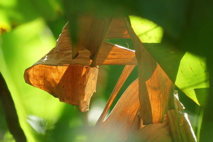 Dried banana leaf in Summer Banana Leaf Banana Leaves Banana Tree Beauty In Nature Close-up Day Dried Banana Leaves Green Color Leaf Nature No People Outdoors Summer Time  Summer Views Summer ☀ Wood - Material กล้วย ใบตอง ใบไม้ ใบไม้เปลี่ยนสี ใบไม้แห้ง