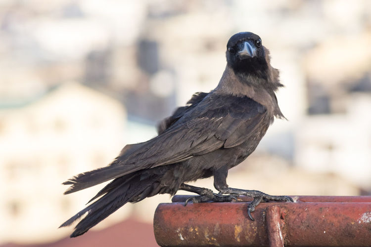 Crow with the
