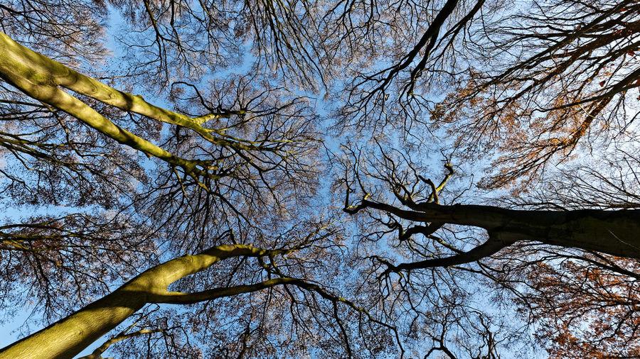 Beech trees near Schillbrok Germany 2016 Beech Trees In November Near Schillbrok Germany Beech Wood Buchen Im November Bei Schillbrok Deutschland Buchenwald Bäume Und Himmel Bäume🌲🌳 Trees And Sky