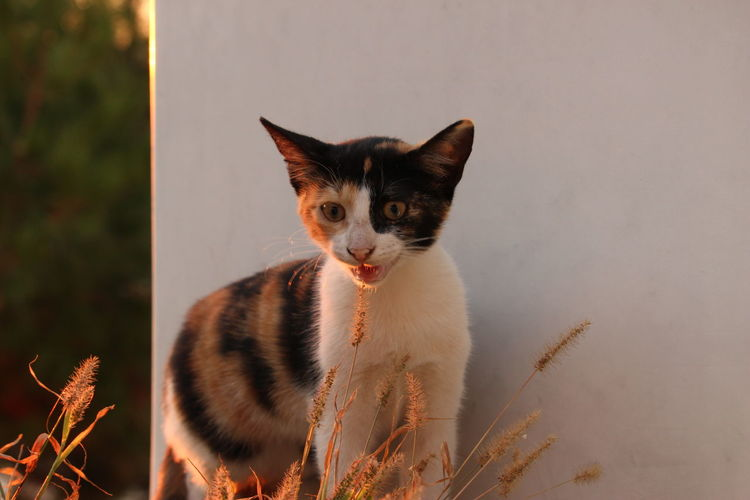 One Animal Animal Themes Pets Domestic Animals Domestic Cat Mammal Feline Looking At Camera Cat Alertness Whisker Zoology Front View Animal Head  Animal Outdoors Focus On Foreground No People Kitten Mouth Open