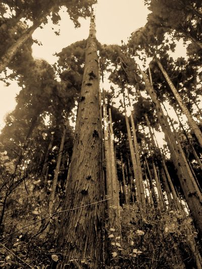 30 Day Challenge Day 7 Trees Tree Forest Tall - High Nature Growth Low Angle View Day Outdoors No People Beauty In Nature Sky Beauty In Nature Japan Landscape_photography Japan Photography Mount Mitake