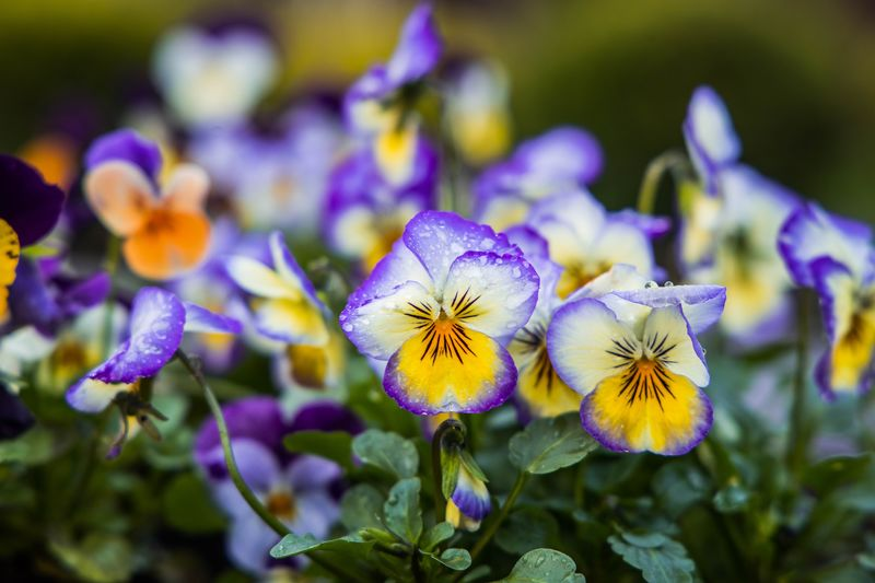 Viola's Viola Flower Flowering Plant Plant Beauty In Nature Freshness Inflorescence Growth Flower Head Close-up Vulnerability  Fragility Petal Focus On Foreground Purple Nature No People Day Outdoors Selective Focus