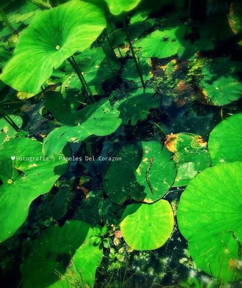 Lilypads Nature_collection Pond Life Lily Pond