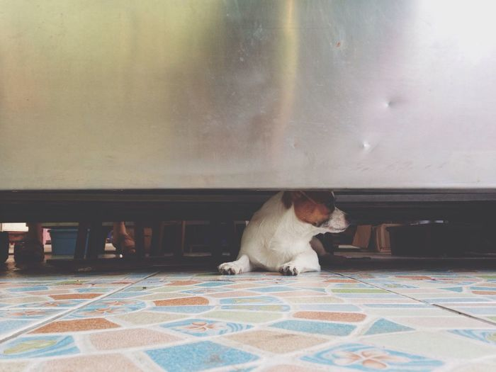 Dog hiding below table at home