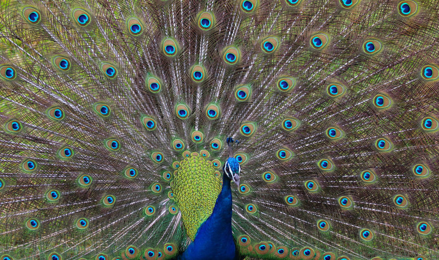 Peacock in full plumage!😊😊 Peacock Indian Blue Peacock Feather Fanned Out Bird Nature Multi Colored Beauty In Nature Feather  Close-up Green Color Animal Themes Animal Wildlife Backgrounds Blue Pattern One Animal in United States