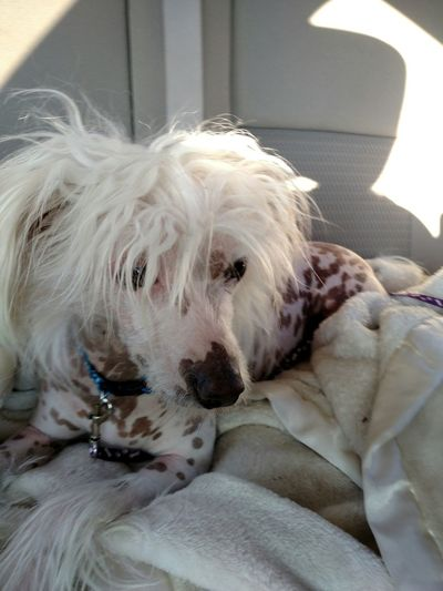 From My Point Of View Things I Love I Love My Dog My Dog Baby Zoey My Dogs Are Cooler Than Your Kids Long Hair, Don't Care. Bad Hair Day Chinese Crested Chinese Crested Dog Car Ride  Dog Life Dog Days