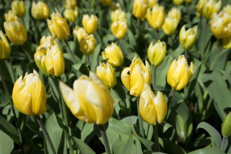 Beauty In Nature Botany Close-up Day Field Flower Flower Head Flowering Plant Fragility Freshness Full Frame Green Color Growth Inflorescence Nature No People Outdoors Petal Plant Springtime Tulip Vulnerability  Yellow