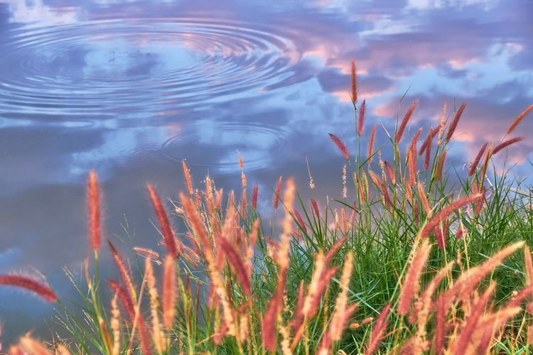 Grass Beauty In Nature Close-up Day Fountain Grass Freshness Growth Lake Nature No People Outdoors Plant Reflections In The Water Ripples In The Water Sky Tranquility Water
