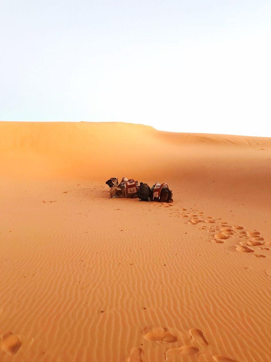 En el desierto Ocaso Sunset Desert Solitude Sol Dunes Dunas Sahara Desert Sahara Camellos Dromedarios Sand Sand Dune Desert Nature Mammal Scenics Landscape Beauty In Nature Arid Climate Animal Themes No People Clear Sky Day Sky Outdoors EyeEmNewHere