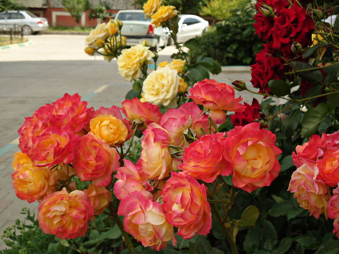 The roses in bloom. Bloom Blooming Colourful Flamboyant Flowers Freshness Garden In Bloom Pink Pink & Yellow Red Red Roses Roses Summer The Roses In Bloom The Essence Of Summer