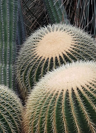 Plants Collection Background Cactus Needles Nature_collection Cactus Nature Photography Cactus Garden Cactusporn Cactus Plant Cactus Collection Plants Cactus Tree Needle - Plant Part Cover Fragility Cover Photo Needle Plant Photography Beauty In Nature Plant Backgrounds Needles Nature Botany Gardening