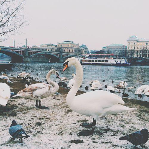 Swans - Prague Prague Swans Swan Heart Love Winter Czech Republic Animals