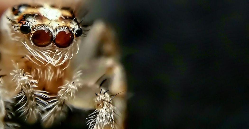 Attack Of The Macro Collection! Macro Jumping Spider Insect Paparazzi Showcase: November Bug Portrait Arachnophobia Macro_collection EyeEm Macro Macro Photography Spider Spiderworld Macro Beauty