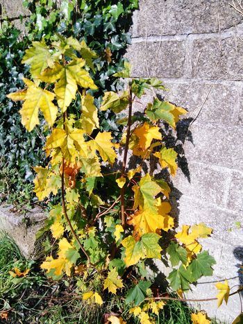 Leaf Day Autumn Outdoors Nature Change Plant Growth Tree Yellow No People