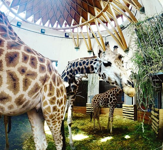 Zoo Giraffe Budapest Animals Feeding  Hello World Beautiful Gopro GoPro Hero3+