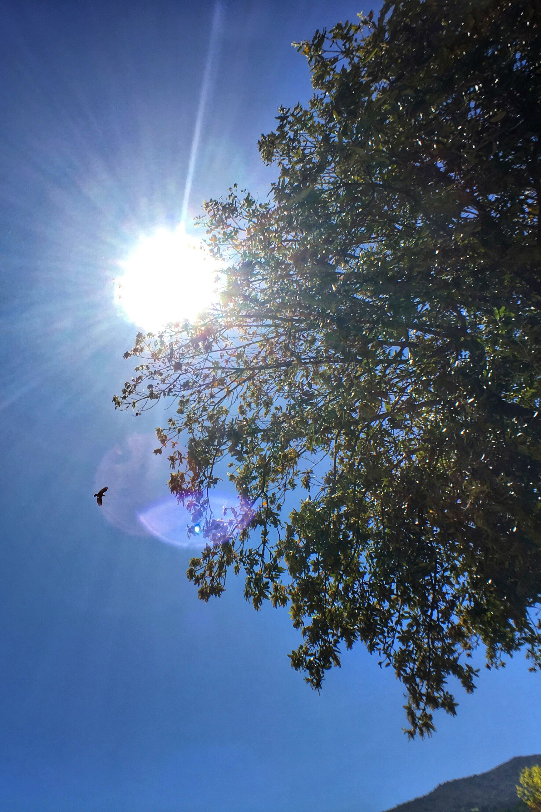 sun, sunbeam, low angle view, lens flare, sunlight, tree, blue, sunny, bright, clear sky, sky, beauty in nature, nature, growth, tranquility, day, no people, outdoors, scenics, tranquil scene