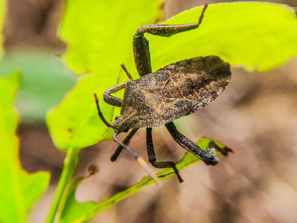 Stink bugs Insect Photography Nature Photography Nature_collection Fauna_collection Nature_lovers Savetheplanet Insects Collection Shotononeplus6 Nature_landscape Bug Bugs Stinkbug Stink Bug Insect Spider Close-up Animal Themes Plant Life Beetle