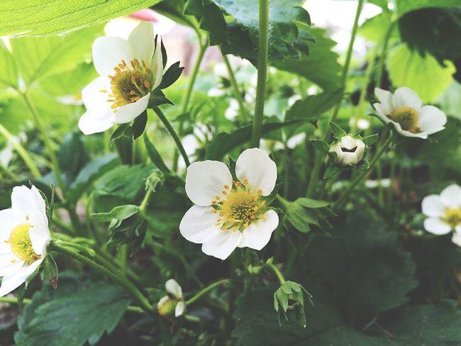 Spring Flowers Vilkovo OpenEdit Nature Green Strawberry