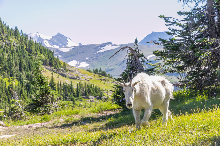 Mountain Goat in an alpine valley above Hidden Lake in Glacier National Park, Montana, USA. Alpine Field Grass Mountain Goat Nanny Wildlife & Nature Wildlife Photography Wildlife Photos Alpine Landscape Animal Themes Beauty In Nature Day Flower Flowers Glacier National Park Glaciernationalpark Mammal Mountain Mountains Nature Outdoors Rocky Mountains Snow Wild Wildlife