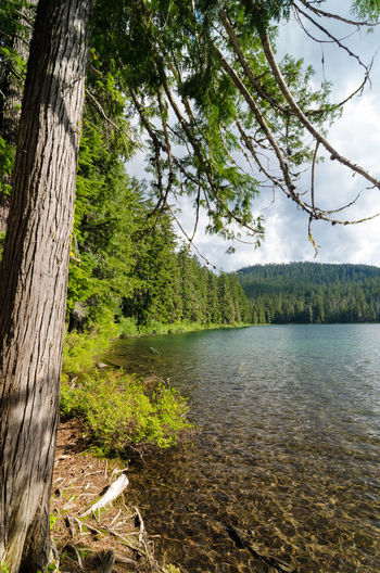 Lower Twin Lake in the Mt. Hood National Forest Background Branch Branches Brown Cone Conifer  Coniferous Day Detail Evergreen Fir Forest Fresh Leaft Nature Needle Needles Oregon Outdoors Pine Plant Season  Spruce Tree Wood