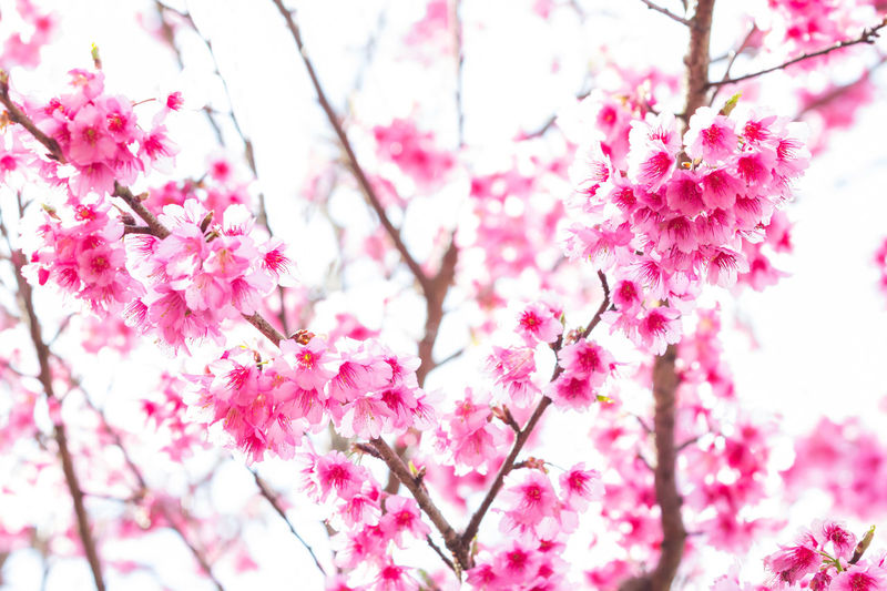 Beautiful spring cherry blossoms in the northern of Thailand Flower Flowering Plant Plant Freshness Cherry Blossom Branch Beauty In Nature Pink Color Flower Head Springtime Bloom Blooming Flower Blossom Cherry Blossom Flora Floral Freshness Japan Sakura Sakura Blossom Season  Tree Spring Spring Flowers
