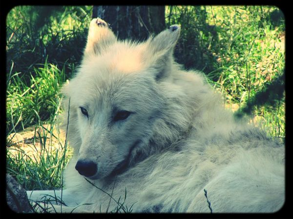 Wolf Loup Zoo Zoo D'amneville