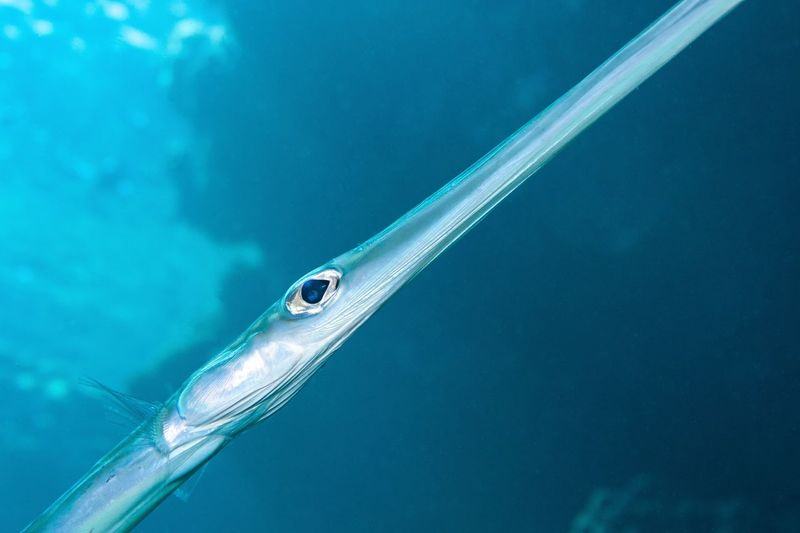 Close up of a trumpet fish