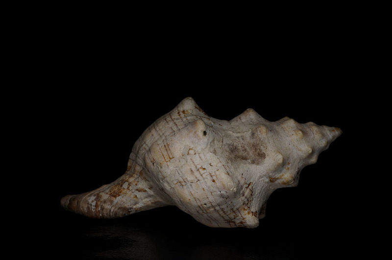 Black Background Close Up Light Box Light Tent Low Key Miniature Sea Shell Still Life