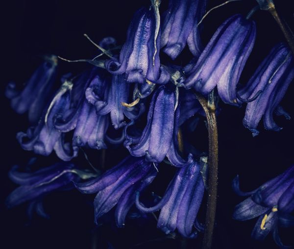 Close-up of wilted purple flowers