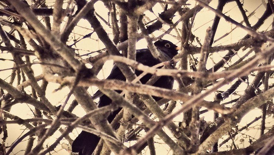 EyeEm EyeEm Nature Lover Blackbird Blackbird In Tree Tree Nature Naturelovers Beauty In Nature Full Frame Backgrounds No People Pattern Close-up Outdoors Day Fragility Animal Themes Animals In The Wild One Animal Branch Animal Wildlife Bird