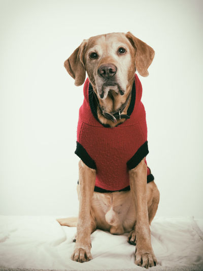 Labrador in sweater Animal Themes Dog Domestic Animals Labrador Retriever Looking At Camera Mammal No People One Animal Pet Clothing Pets Portrait White Background