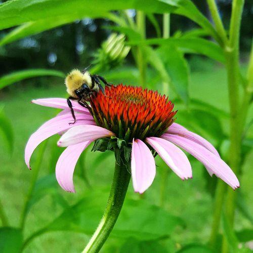 Purpleconeflower Echinacea Bees Backyard Nature Summer Arkansas Sound Of Life S6edge S6edgephotography