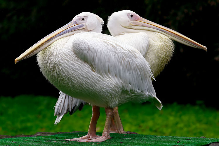Close-Up Of Two Pelicans Outdoors