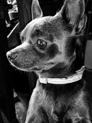 Dog One Animal Domestic Animals Close-up No People Pets Animal Themes Beast Chiwawa Early Morning Chiwawa Love Chiwawa Puppy Pet Portraits