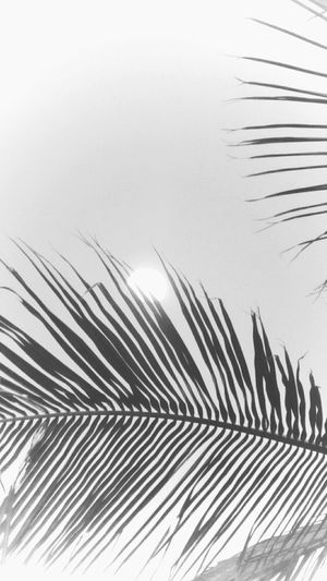 No People Full Frame Abstract Backgrounds Nature Day Outdoors Moon_collection Moonlight Moon Palm Frond Beauty In Nature Frond Close-up Growth Palm Tree Palm Leaf Black And White Photography