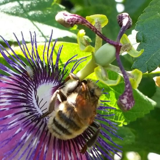 This is a very light colored bumblebee. It stayed on that flower the whole time I was out yesterday. Nature Flower Animal Themes Beauty In Nature Purple Close-up Outdoors Insect Animal Behavior Wings Bumblebee Bees EyeEm Nature Lover Beauty In Nature Colorsandpatterns Popular Photos Furry Passion Flower