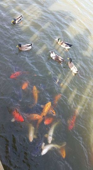 feeding the fishies Pond Ducks In Water Ducks Sunshine Water Aerial View High Angle View Koi Carp Pond Fish Fishes Large Group Of Animals Waterfront