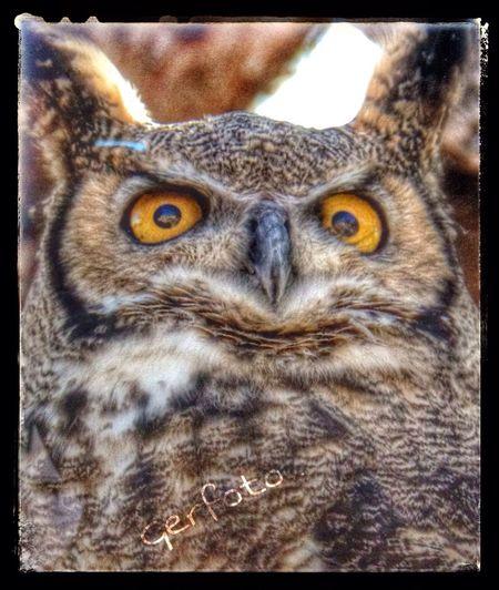 Long horn owl Owl Wild Birds