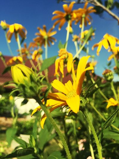 Yellow flowers in Nakhonrajsima, Thailand Yellow Cosmos Yellow Flowers Flower Yellow Sulfur Cosmos Beautiful Cosmos
