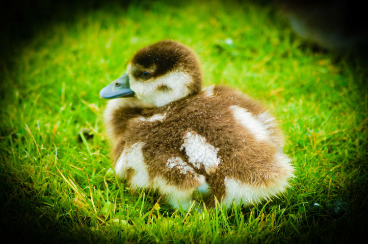 Little bird Animal Green Grass Brown Feathers White Close Up Close-up Zoom Centered Centered Perspective To The Left Right Sitting Standing Smaml Bird Young Animal Goose Gosling Young Bird Grass Duckling Water Bird Duck Geese Growing Mandarin Duck Greylag Goose Swimming Animal