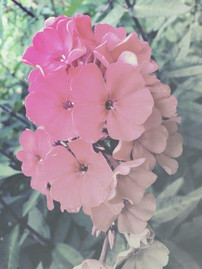 Fading Beauty Flowers 🌸🌸🌸 Faded Beauty Flowers, Nature And Beauty Flowery Magic Roses, Flowers, Nature, Garden, Bouquet, Love, Flowerporn Fading Beauty Plant Flowering Plant Vulnerability  Beauty In Nature Petal Flower Fragility Flower Head Nature Botany