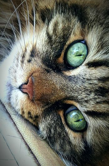 💚 My pretty furry friend 💚 Cat Geeeneyed Mainecoon Cats Of EyeEm Catphotography Pet Pet Photography  Photoshoot Green Eyes Brown Fur Green Color Enjoying Life Love Cateyes Beautiful Eyes Very Pretty Her Name Is Pudgie 💖