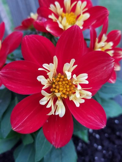 Potted some porch flowers this morning! Check This Out Gardening Flower Head Flower Beauty Red Petal Stamen Springtime Close-up Plant Blooming Dahlia In Bloom