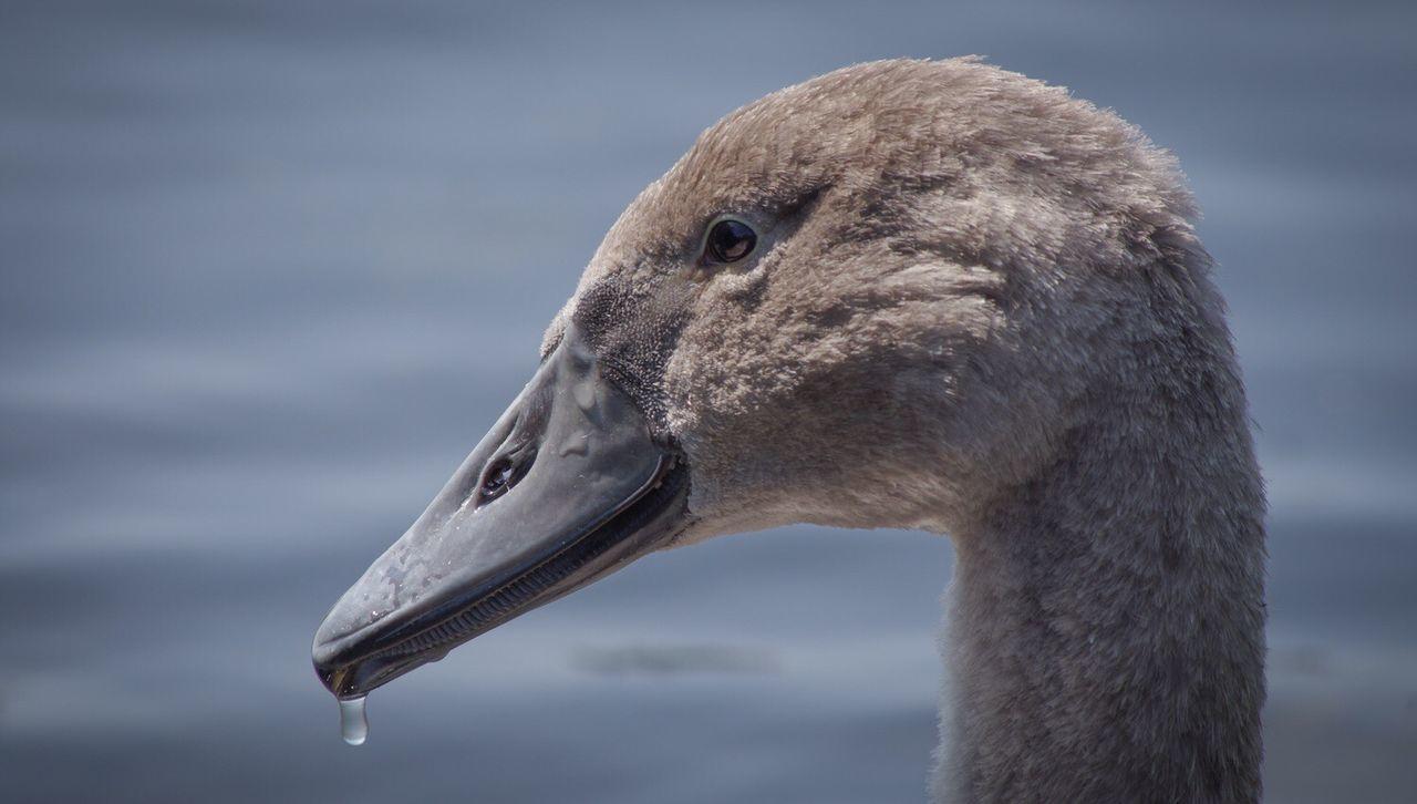 bird, animals in the wild, animal wildlife, animal themes, one animal, focus on foreground, beak, close-up, outdoors, water bird, day, no people, goose, nature, water, swan