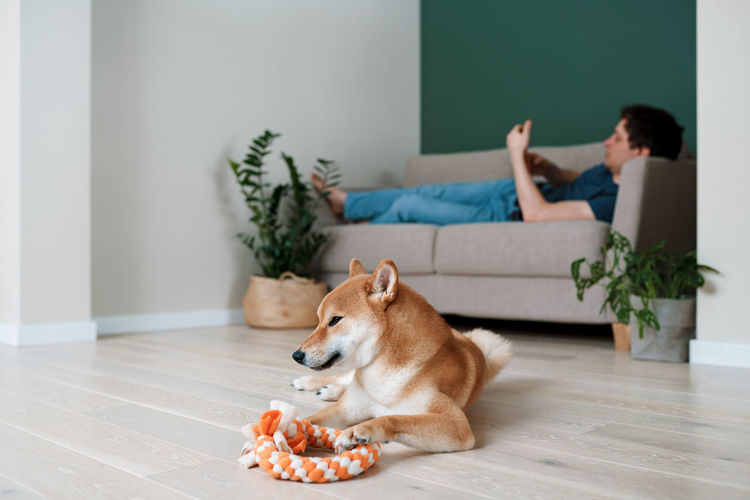 Happy dog shiba inu plays with a ring made by her owner. diy dog toys and pet care