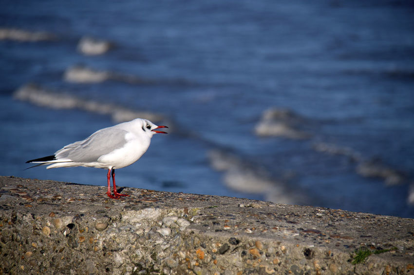 Bird Animal Animal Themes Animals In The Wild Animal Wildlife Vertebrate One Animal Water Sea Perching Seagull Rock - Object Rock Day Solid Nature No People Focus On Foreground Full Length