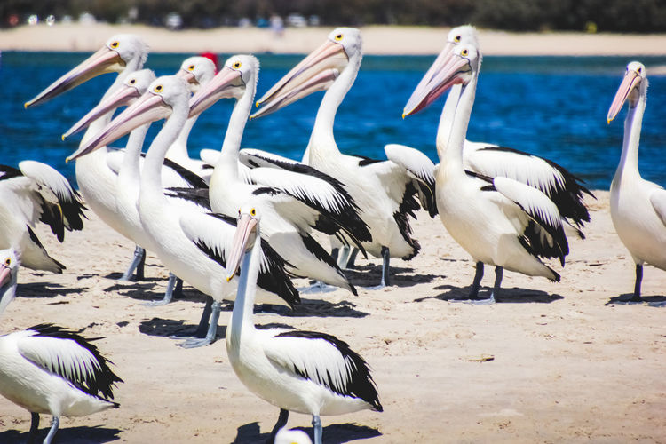 pelicans at a local beach Group Of Animals Animals In The Wild Bird Animal Wildlife Vertebrate Animal Themes Animal No People Large Group Of Animals Nature Water Day Land Beach Focus On Foreground Beauty In Nature White Color Sunlight Pelican Flock Of Birds