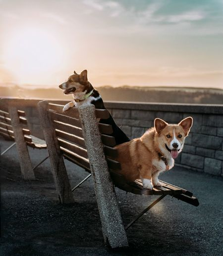 Chilling Corgi Bench Sunset Pets Domestic Mammal Domestic Animals Animal Themes Animal One Animal Dog Sky Sitting Relaxation Looking At Camera Cloud - Sky