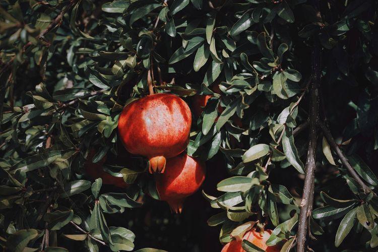 Close-up of pomegranate on tree