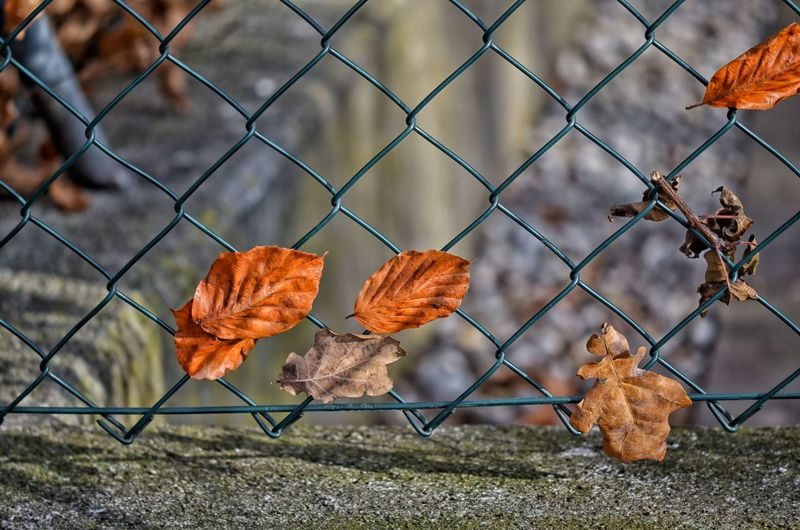 Autumn leaves on chainlink fence